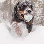 Ротвейлер. Снежная сказка