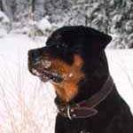 Ротвейлер. Моя вторая в жизни зима