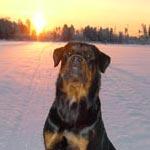 Ротвейлер. Зимний восход на реке