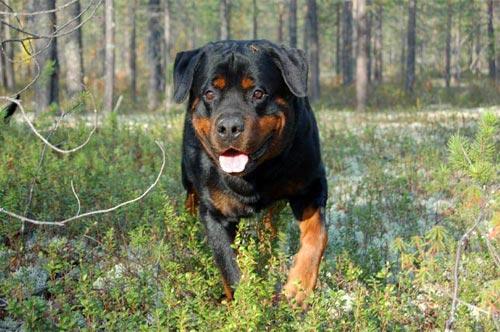 Ротвейлер (Rottweiler) Жардан. Фото.